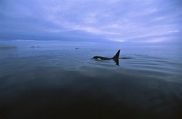Orca (Orcinus orca) surfacing in calm waters, Alaska  -  Flip  Nicklin