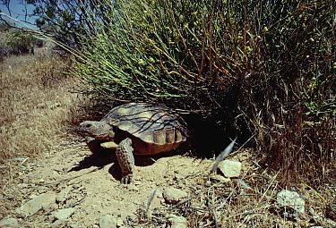 Desert Tortoise (Gopherus agassizii) emerging from burrow beneath Mohave Desertrue (Thamnosma montana), Mojave Desert, California  -  Larry Minden