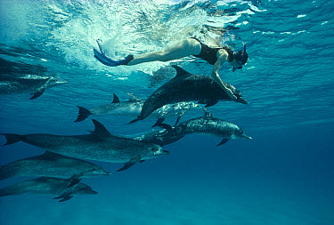 Atlantic Spotted Dolphin (Stenella frontalis) pod with female snorkeler, Bahamas  -  Flip Nicklin