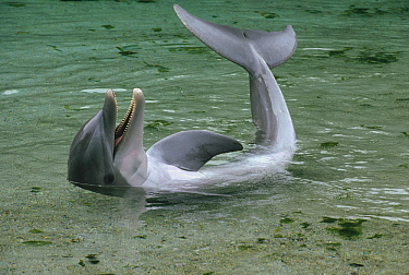 Bottlenose Dolphin (Tursiops truncatus) playing in shallow water, Hawaii