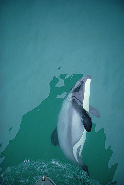 Hector's Dolphin (Cephalorhynchus hectori) at bow of research boat, Banks Peninsula, New Zealand  -  Flip Nicklin