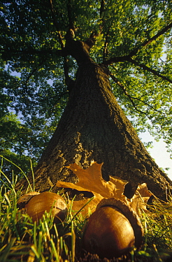 Northern Red Oak (Quercus rubra) tree with corns and leaves at base, Massachusetts