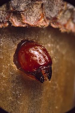 Black Oak Acorn Weevil (Curculio rectus) grub emergening from acorn, Myles Standish State Forest, Massachusetts  -  Mark Moffett
