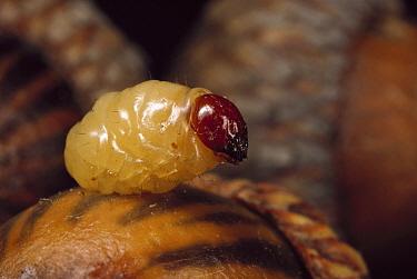 Black Oak Acorn Weevil (Curculio rectus) grub emerging from acorn, Myles Standish State Forest, Massachusetts  -  Mark Moffett