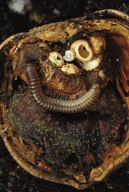 Millipede (Narceus americanus) with galls and mold inside acorn, Massachusetts  -  Mark Moffett