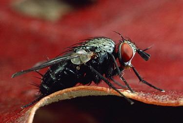 Tachinid Fly (Phytomyptera melissopodis) portrait, Massachusetts  -  Mark Moffett