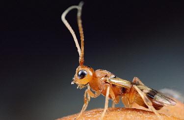 Braconid Wasp (Braconidae) portrait, Massachusetts  -  Mark Moffett