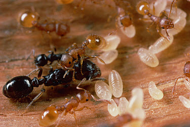 Ant (Harpagoxenus sp) queen being groomed by Slave Ant Worker (Leptothorax sp) while others in the background groom and carry larvae, Massachusetts  -  Mark Moffett
