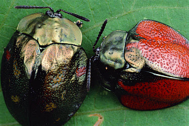Leaf Beetle (Stolas sp) pair showing color variation, Panama  -  Mark Moffett