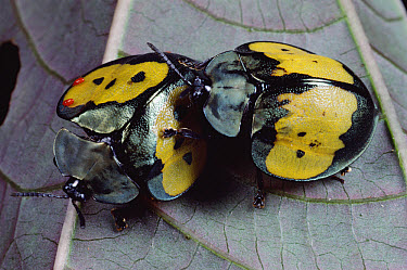 Leaf Beetle (Stolas sp) pair with red mites on their shells, Panama  -  Mark Moffett