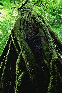 Lianas climbing tree, Costa Rica  -  Mark Moffett