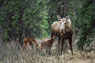 Alaska Moose (Alces alces gigas) cow nursing one of twin calves, boreal forest, Alaska  -  Michio Hoshino