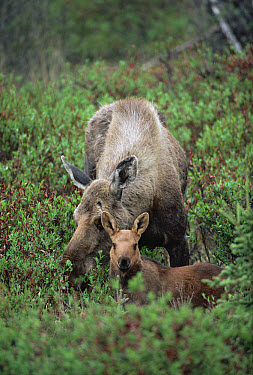 Alaska Moose (Alces alces gigas) cow and calf reclining, Alaska  -  Michio Hoshino