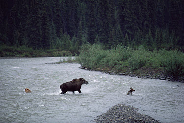 Alaska Moose (Alces alces gigas) mother protecting her calf from young Grizzly Bear (Ursus arctos horribilis), Alaska  -  Michio Hoshino