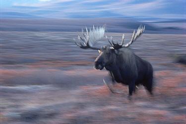 Alaska Moose (Alces alces gigas) bull charging, Alaska  -  Michio Hoshino