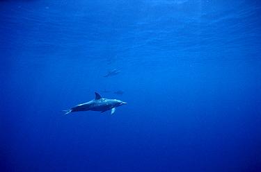 Rough-toothed Dolphin (Steno bredanensis) underwater portrait, Hawaii  -  Flip Nicklin