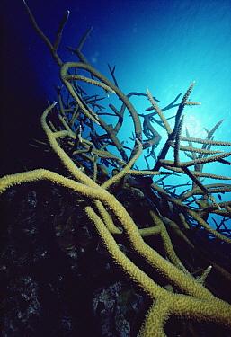 Stony Coral (Acropora sp) underwater, Grand Cayman  -  Flip Nicklin