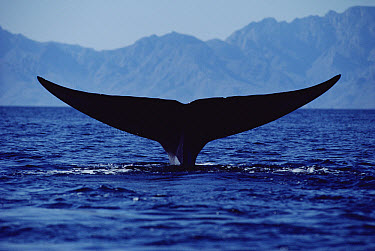 Blue Whale (Balaenoptera musculus) tail, Sea of Cortez, Mexico  -  Flip Nicklin