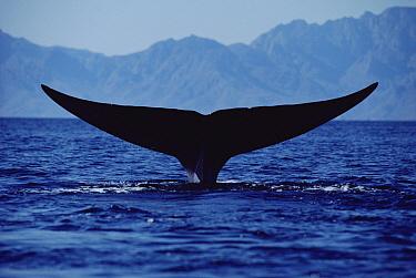 Blue Whale (Balaenoptera musculus) tail, Sea of Cortez, Mexico  -  Flip Nicklin