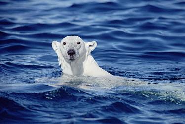 Polar Bear (Ursus maritimus) swimming, Baffin Island, Nunavut, Canada  -  Flip Nicklin