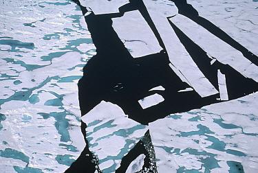 Beluga (Delphinapterus leucas) whale, group in ice break, Lancaster Sound, Nunavut, Canada  -  Flip Nicklin
