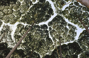 Crown shyness among secondary growth trees, Selangor, Peninsular Malaysia  -  Mark Moffett