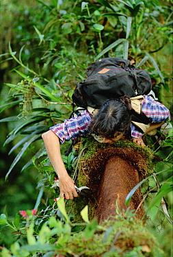 Nalini Nadkarni scrapes soil from tree trunk in Monteverde Cloud Forest Reserve, Costa Rica  -  Mark Moffett