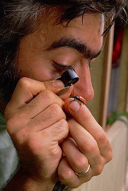 Researcher Brian Ferrell examines new beetle species, Pacaya-Samiria National Reservation, Peru  -  Mark Moffett