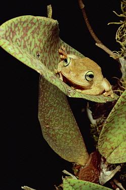 Tree Frog (Rana sp) in canopy orchid, Trinidad  -  Mark Moffett