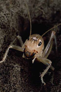 Rare Wellington Ground Weta (Hemiandrus similus) a rarely seen small species, the only Weta that burrows into ground, New Zealand  -  Mark Moffett