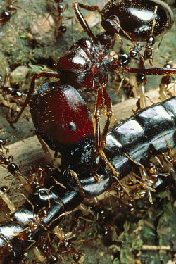 Marauder Ant (Pheidologeton diversus) major worker ant smashes the mid-section of a long centipede caught during a raid, which the smallest minor worker ants have pinned down, Celebes Island, Indonesi...  -  Mark Moffett