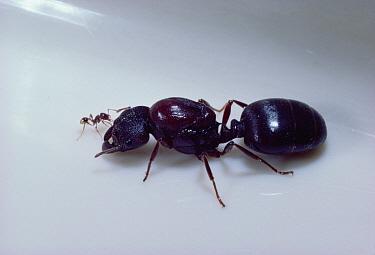 Marauder Ant (Pheidologeton silenus) queen next to minor worker, Malaysia  -  Mark Moffett