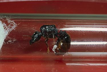 Marauder Ant (Pheidologeton sp) queen with eggs attached to abdomen, India  -  Mark Moffett