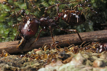 Marauder Ant (Pheidologeton diversus), major worker cutting twig impeding trail, Borneo  -  Mark Moffett