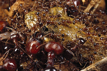 Marauder Ant (Pheidologeton diversus) minor workers pin down a frog while major workers deal the death blows, India  -  Mark Moffett
