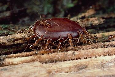 Marauder Ant (Pheidologeton diversus) group carrying seed to nest, India  -  Mark Moffett