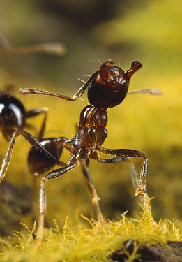 Marauder Ant (Pheidologeton diversus) rearing up with open jaws in threat posture, guarding the trunk trail, southern India  -  Mark Moffett