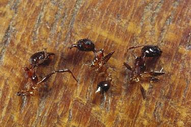 Ant (Pheidole sp) group killed by Ants (Lophomyrmex sp), which cut them apart with fine-toothed saw manibles, Borneo  -  Mark Moffett