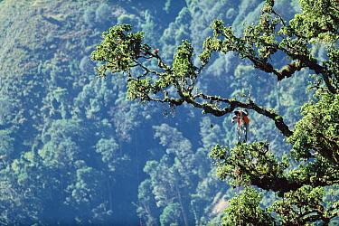 Rainforest researcher Pierre Berner studies tree growth, Rio Macho Forest Reserve, Costa Rica  -  Mark Moffett