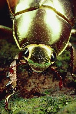 Golden Scarab Beetle (Plusiotis resplendens) portrait, Monteverde Reserve, Costa Rica  -  Mark Moffett