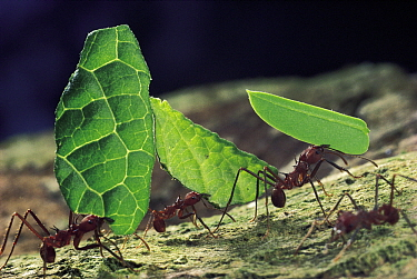 Leafcutter Ant (Atta cephalotes) workers carrying leaves back to nest, Barro Colorado Island, Panama