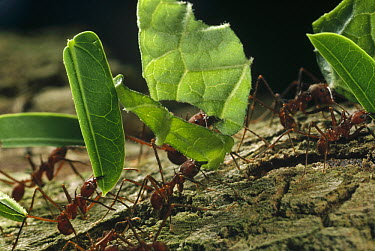 Leafcutter Ant (Atta sp) group carrying leaves back to nest, Barro Colorado Island, Panama  -  Mark Moffett