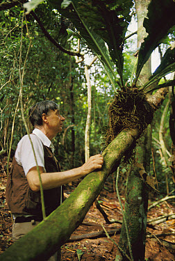 Pulitzer prize winning entomologist Dr. E. O. Wilson examines epiphyte for insects, Barro Colorado Island, Panama  -  Mark Moffett