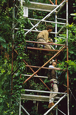 Entomologist Dr. E. O. Wilson searches for rainforest canopy ants with research assistant John Tobin in 45 meter tower, Barro Colorado Island, Panama  -  Mark Moffett