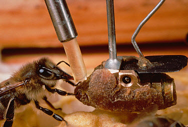 Honey Bee (Apis mellifera) accepts nectar sample from electronic bee in communication research experiment, Wurzburg, Germany  -  Mark Moffett