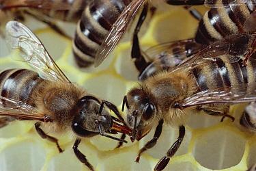 Honey Bee (Apis mellifera) feeding nectar to hive mate, Wurzburg, Germany  -  Mark Moffett