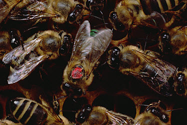 Honey Bee (Apis mellifera) group gather around dancing bee to learn of nectar sources, Wurzburg, Germany  -  Mark Moffett