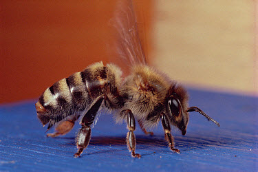 Honey Bee (Apis mellifera) portrait, Wurzburg, Germany  -  Mark Moffett