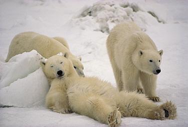 Polar Bear (Ursus maritimus) trio loafing in snow, Churchill, Manitoba, Canada  -  Michio Hoshino