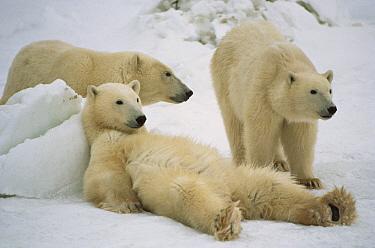 Polar Bear (Ursus maritimus) trio loafing, Churchill, Manitoba, Canada  -  Michio Hoshino